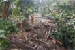 Hơn 1.000 cây sâm quý trên đỉnh Ngọc Linh bị vùi dập sau mưa bão