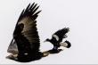 Chim ác là tinh ranh, leo lên đuôi đại bàng để 'quá giang'