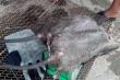 Video: Dân Đồng Tháp nô nức săn chuột đồng mùa nước nổi