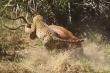 Video: Báo hoa mai trổ tài săn linh dương Impala trong chớp mắt