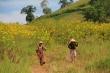 Ảnh: Thiên đường hoa dã quỳ ở núi lửa Chư Đăng Ya