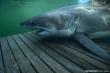 Cá mập bơi hơn 1.000 km để tránh giao phối