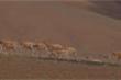 Khung cảnh choáng ngợp khi 60.000 con linh dương Tây Tạng di cư
