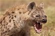 Vừa mới sinh, linh dương mẹ bị linh cẩu cướp mất con