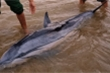 3 tiếng đồng hồ 'hộ tống' cá heo mắc cạn ra biển Cửa Đại
