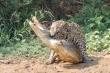 Cá sấu vật vã chống cự vẫn không thoát khỏi nanh vuốt báo đốm