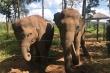 Hai đàn voi rừng liên tục phá hoại hoa màu ở Đắk Lắk