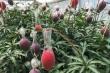 Xoài đỏ Nhật Bản giá 5.000 USD/cặp được trồng ra sao?