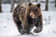 Biến đổi khí hậu, gấu xám Bắc Mỹ di cư khắp nơi để kiếm mồi