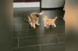 Mèo con tung chưởng trị mèo lớn