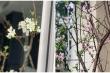 Hoa lê, đào rừng nở sớm hút khách Hà thành, người bán 'hốt bạc'