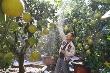 Video: Bưởi Diễn bonsai xuống phố phục vụ khách hàng chơi Tết sớm