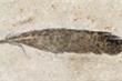 Hóa thạch lông vũ gây tranh cãi của loài khủng long 'lai chim'