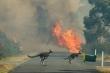 Video: Đàn kangaroo chạy trốn cháy rừng ở Australia