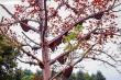 Độc đáo cây hoa gạo 'cõng' 30 tổ ong rừng ở miền Tây xứ Nghệ