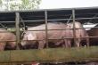 Chuẩn bị nhập khẩu lợn sống, giá trong nước bắt đầu giảm