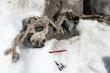 Tìm thấy xác ướp sơn dương đóng băng 400 năm trên núi