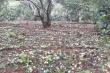 Hơn 200ha mận của nông dân Sơn La rụng tan tác sau trận mưa đá lúc rạng sáng
