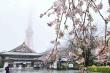 Video: Rợp trời hoa anh đào Tokyo nở bung rực rỡ trong tuyết trắng