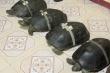 Rùa hơn 100 tuổi thích ngủ mùng, nghe kinh phật ở Đồng Tháp