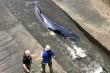 Video: Giải cứu cá voi dài gần 4m mắc cạn ở sông Thames