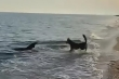 Chó nhà vờn, đuổi bắt cá heo tắp vào bờ bắt cá