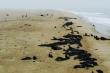 Hải cẩu mẹ bỏ lại hàng nghìn con non trên bãi biển