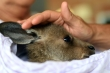 Kangaroo con sống sót kỳ diệu trong túi chuột mẹ sau đám cháy rừng ở Australia