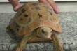 Video: Rùa vàng chỉ thích ăn chay, mừng khi thấy chủ đi làm về