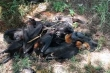 Kỳ quái hơn 100.000 con dơi đồng loạt nằm chết la liệt