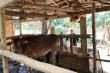 Xã tự ý thu tiền bò giống cấp miễn phí cho dân ở Quảng Ngãi
