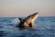 Điều gì xảy ra khiến hàng trăm con cá mập trắng của Nam Phi biến mất?