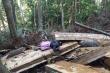 Yêu cầu xử nghiêm nạn khai thác gỗ pơ mu trái phép ở Đắk Lắk