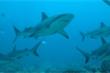 Nửa triệu con cá mập có thể bị giết hại để điều chế vaccine COVID-19