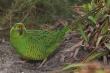 13 loài vật có thể bị tuyệt chủng sau thảm họa cháy rừng ở Australia