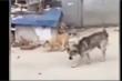 Hai chú chó nhảy theo nhạc cực điêu luyện