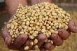 Tại sao Trung Quốc bất ngờ mua gấp đôi sản lượng đậu nành từ Mỹ?