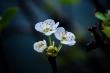 Ảnh: Những mùa hoa đẹp đến nhói tim trên cao nguyên đá Hà Giang