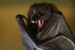 Video: Vì sao dơi là loài mang nhiều mầm bệnh nguy hiểm nhất?