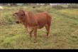 Phiên tòa kỳ lạ nhất Hà Tĩnh, phân xử con bò 'chị đẹp' bằng giám định ADN