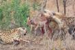 Video: Đang say sưa chén mồi, báo săn bị linh cẩu 'nẫng tay trên'