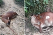 Lên rừng tìm bò sau Tết, hoảng hốt thấy cả đàn bò chết bất thường