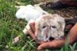 Video: Kỳ lạ dê con mới sinh có 2 đầu ở miền Tây