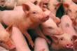 Từ 1/8, người dân nội thành Hà Nội không được nuôi lợn, gà