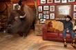 Gia đình nuôi trâu rừng nặng hơn 1 tấn trong nhà làm thú cưng