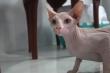 Mèo không lông giá 3.000 USD hút hồn giới trẻ