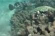'Thủy quái' ngang nhiên cướp tôm hùm của ngư dân
