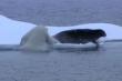 Tuyệt chiêu 'ninja' săn hải cẩu của gấu Bắc cực và cái kết không ngờ