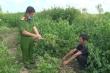 Hai người đàn ông khai trồng cần sa để cho gia cầm ăn
