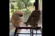 Clip: Chú vẹt 'cà chớn' thích trêu ghẹo cú mèo
